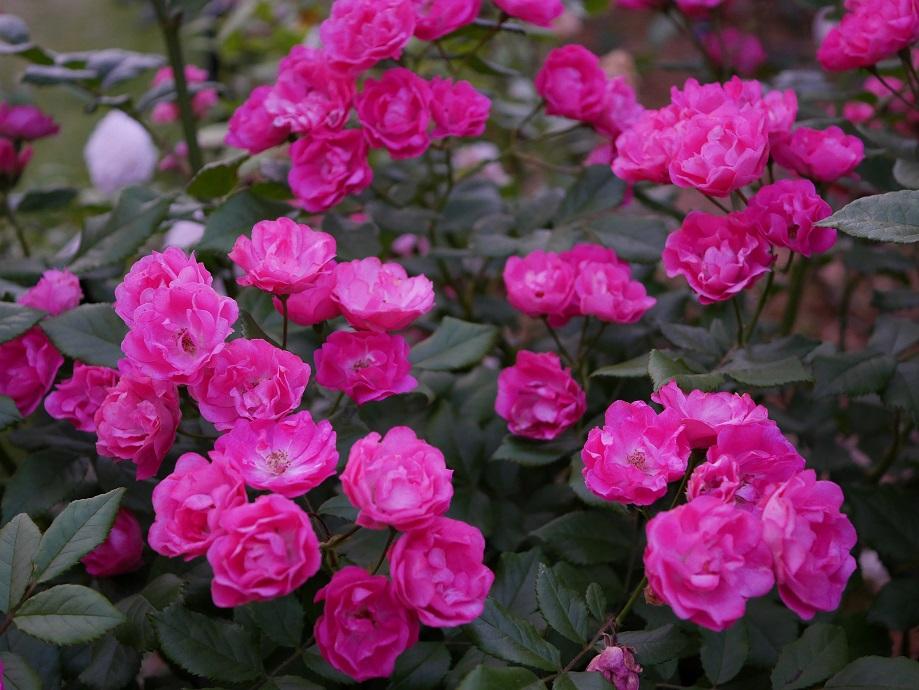 ポリアンサ系統のバラ「ダム・ノルベルラヴァヴァスール」の満開の花姿。