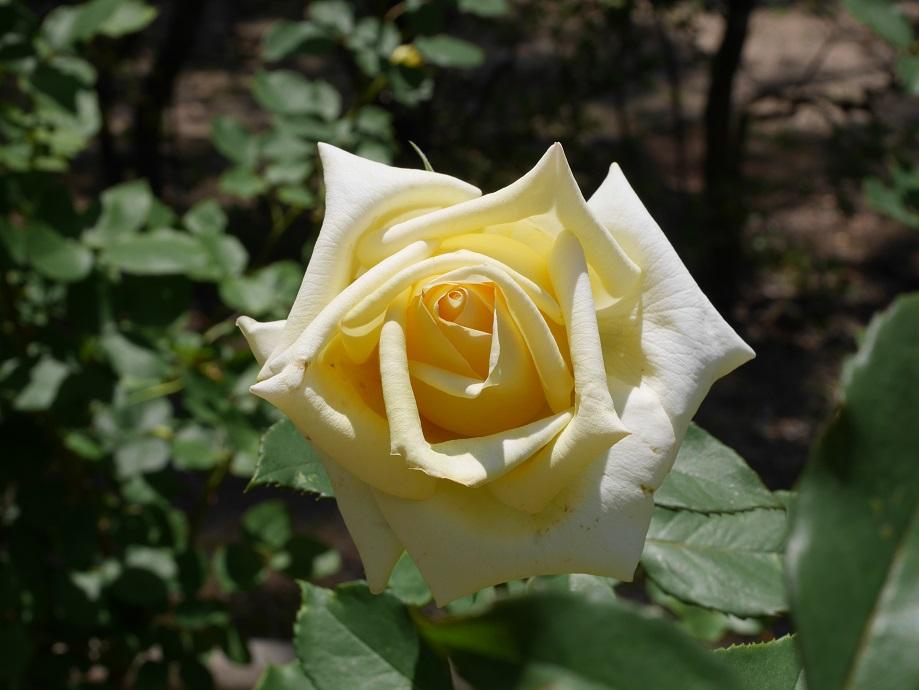 クリームイエロー色の丸弁高芯咲きのバラ「エリナ」の花姿。