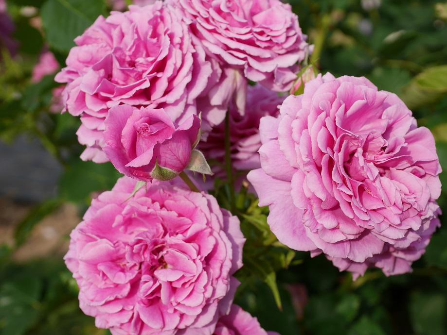 ラベンダー色にやや赤みがはいったバラ「センティッド・エアー」の花姿。花が4輪とつぼみが2つ写っている。