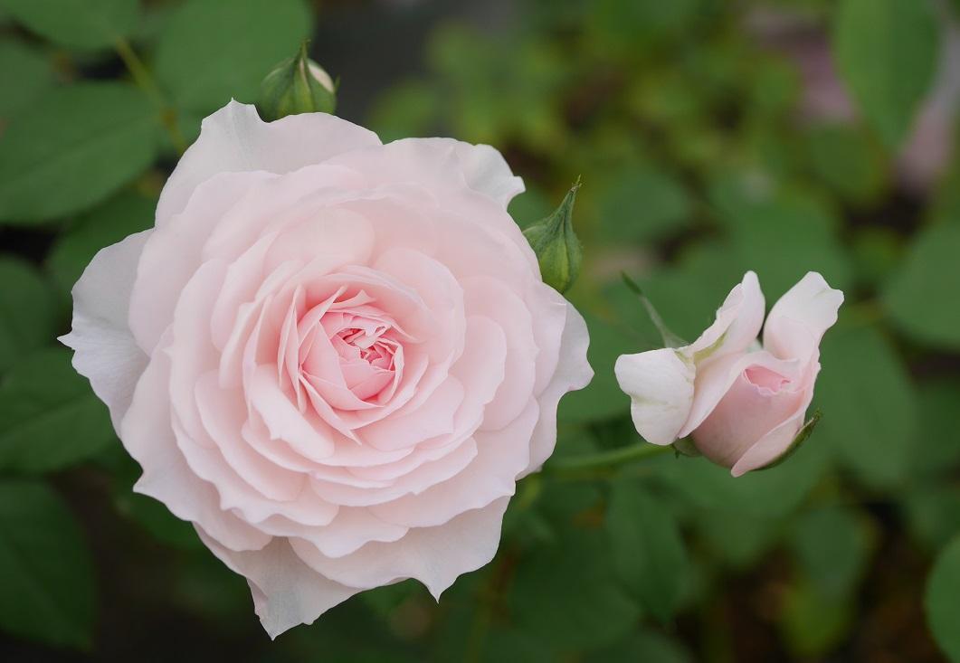 淡い桃色のカップ咲きのバラ「みさき」の花姿。[撮影者:花田昇崇]
