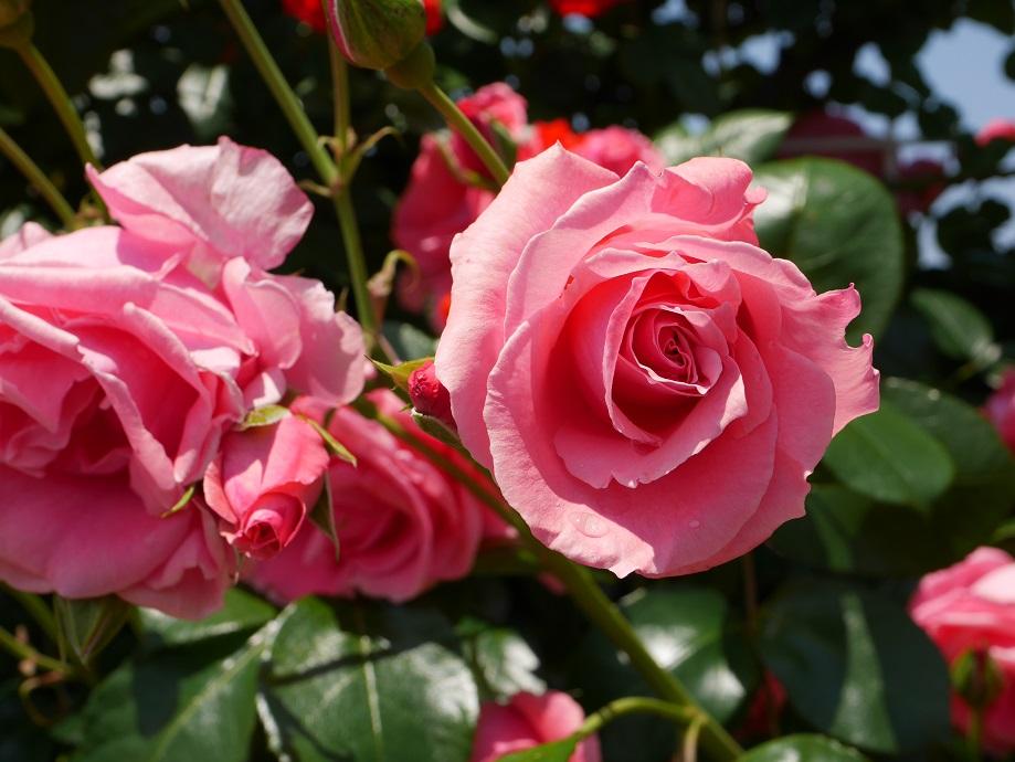 ピンク~サーモンピンク色の半剣弁カップ咲きのバラ「ラヴィーニア」の花姿。