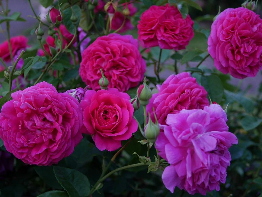 咲きほこる「ザ・ダーク・レディ」(イングリッシュローズ)の花姿。[撮影者:花田昇崇]