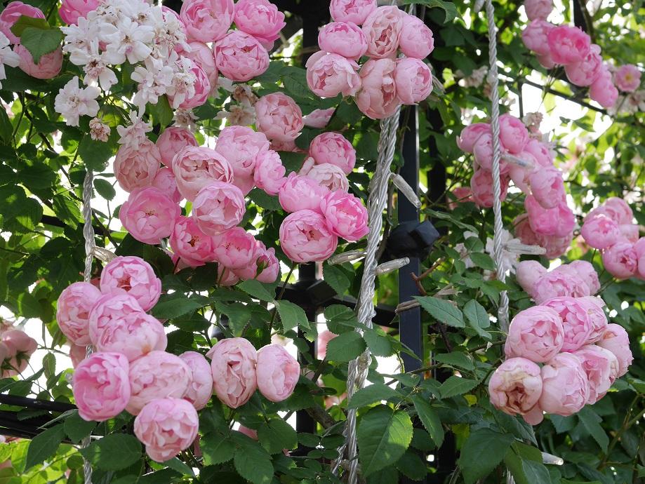 画面いっぱいに咲くバラ「クラウン・プリンセス・マルガリータ」の花姿。