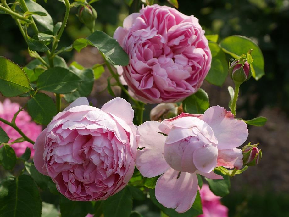 ライラック色のカップ咲きのバラ「チャールズ・レニー・マッキントッシュ」の花姿。