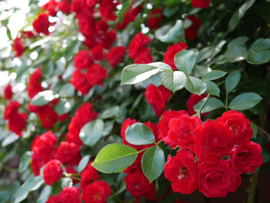 咲きほこる赤色のつるバラ「スカーレット・メディランド」の花姿。[撮影者:ローズフェスタ]