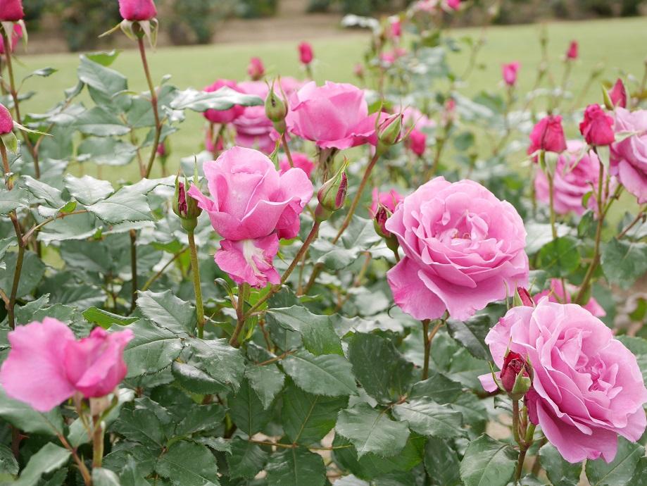 画面いっぱいに咲きほこるバラ「ショッキング・ブルー」の花姿。