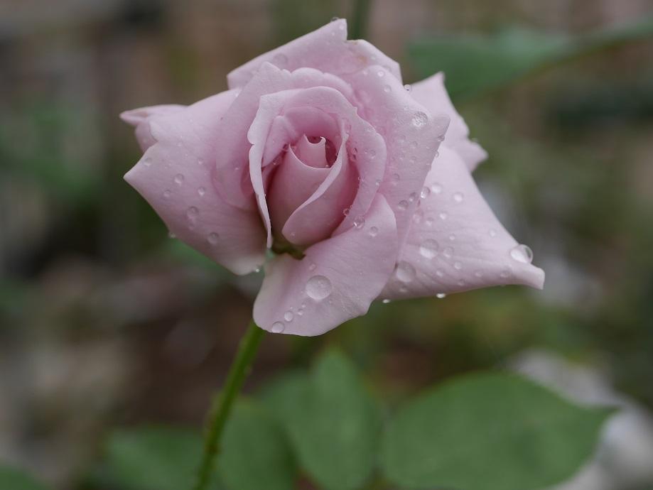 藤色のバラ「ブルー・ムーン」の花姿。