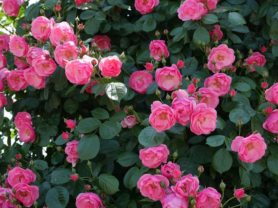 ローズ色のバラ「アンジェラ」が咲きほこる。
