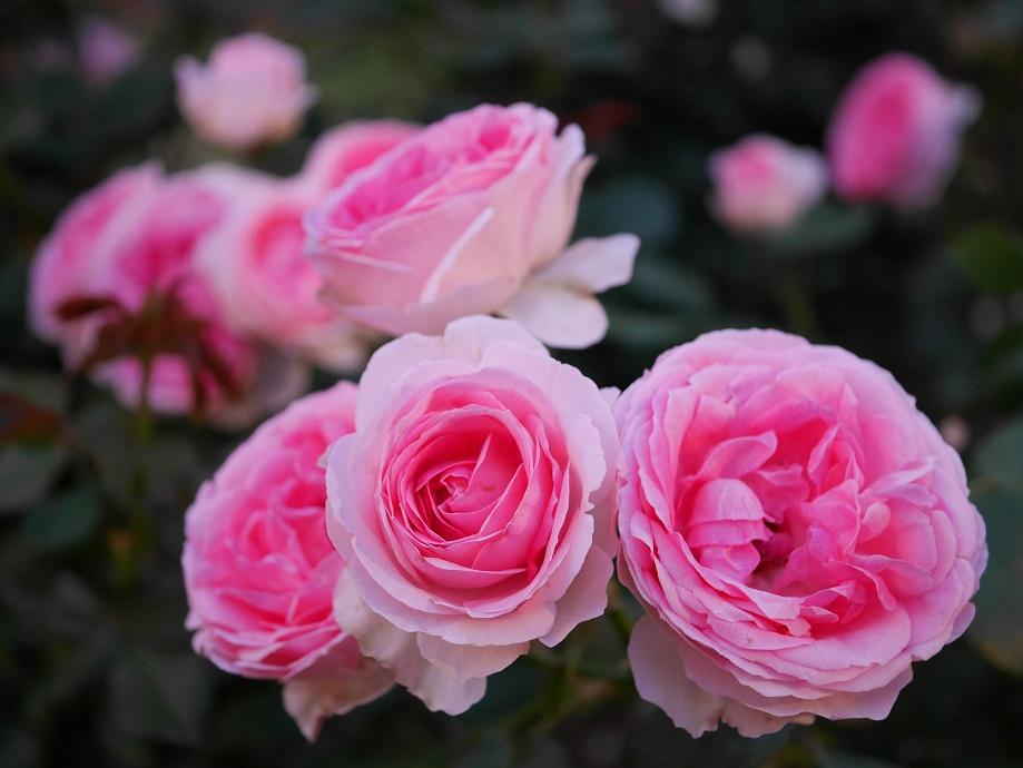 中心にいくほどピンク色が濃くなるカップ咲きのバラ「エルミタージュ」の花姿。4輪咲いている。[撮影者:花田昇崇]