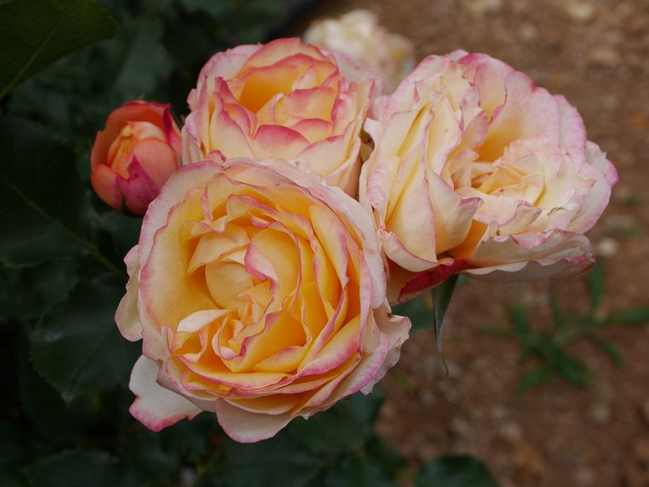 明るいオレンジ色のバラ「ベビー・ロマンティカ」の花姿。
