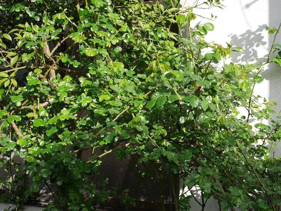 葉がよく茂る「アンジェラ」。