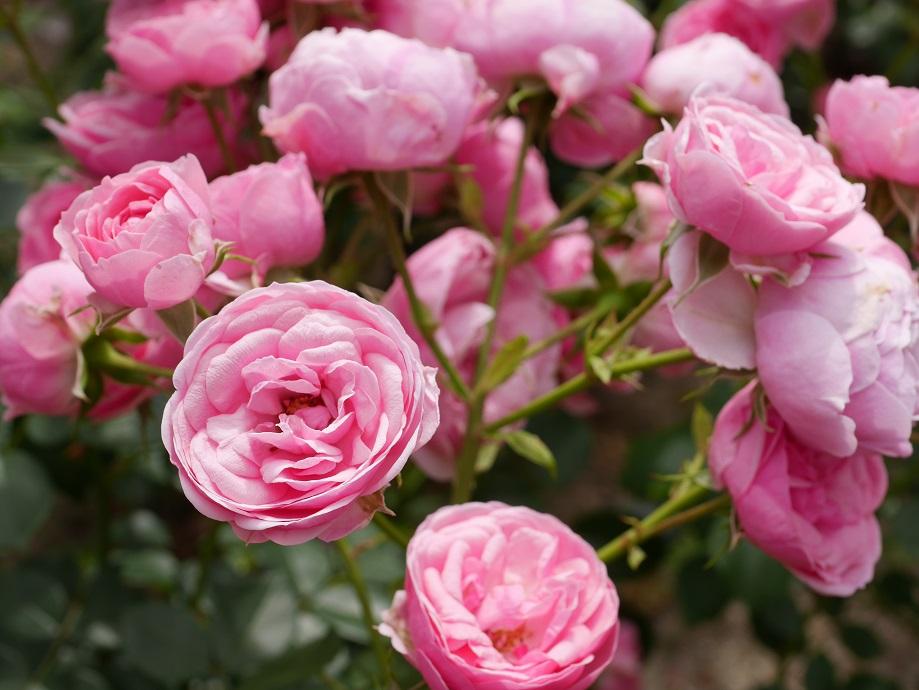 薄い桃色~濃い桃色のバラ「ポンポネッラ」の花姿。