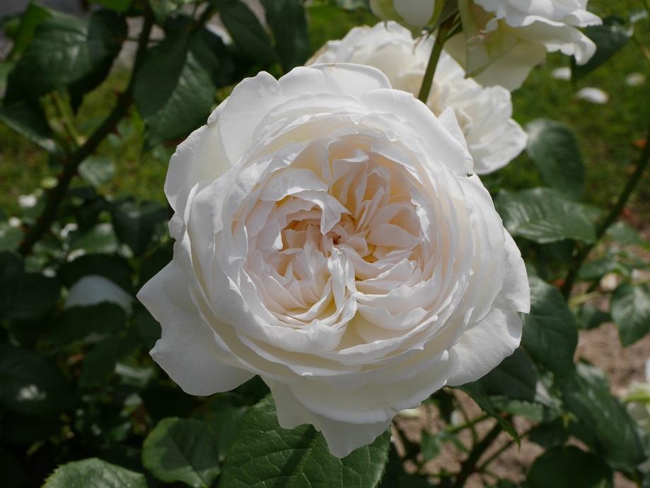 美しいスノーホワイト色のバラ「ボレロ」の整った花姿。[撮影:ローズフェスタ]