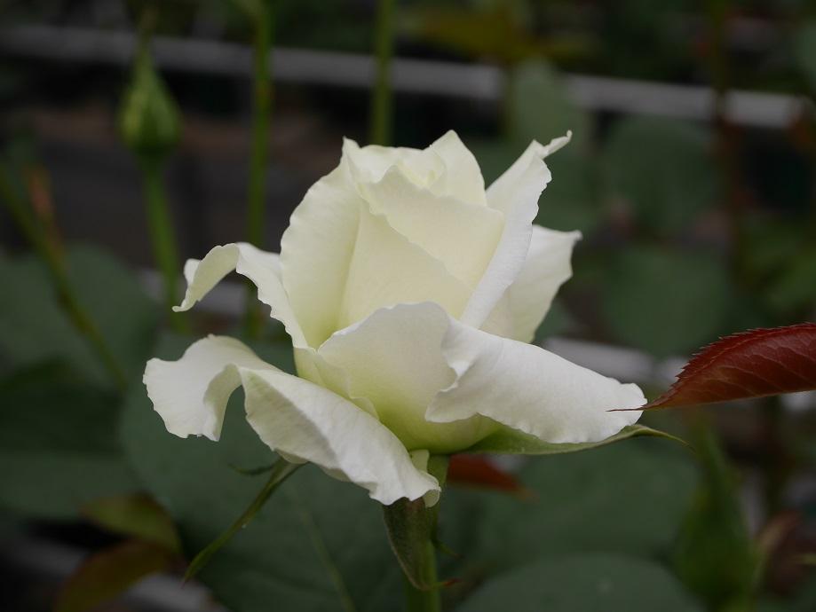 1輪咲いている剣弁高芯咲きの白バラ「パスカリ」の美しい花姿。[撮影者:ローズフェスタ]
