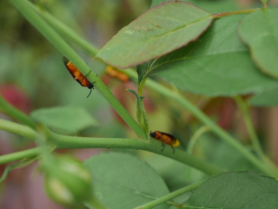 成虫のチュウレンジハバチ3匹、バラの枝にとりついている写真。