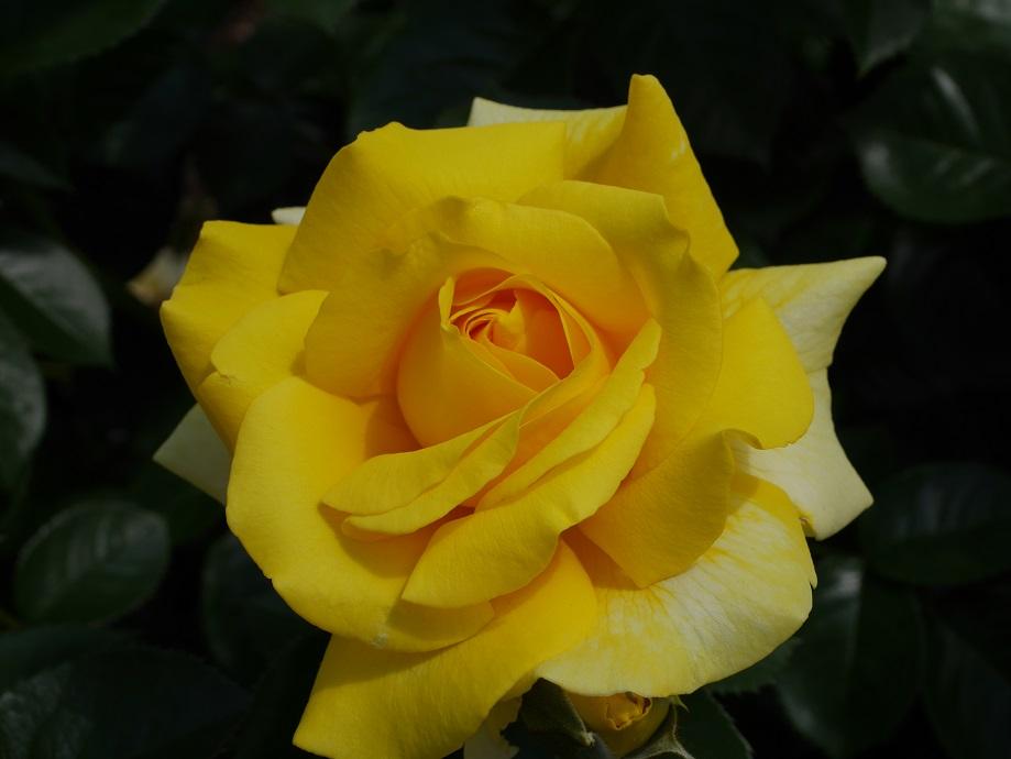 黄色から薄いクリーム色へと変化するバラ「ファースト・インプレッション」の花姿。