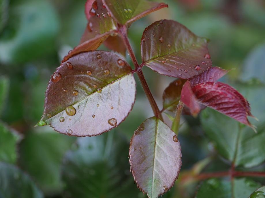 赤銅色のジャスト・ジョーイの若い葉