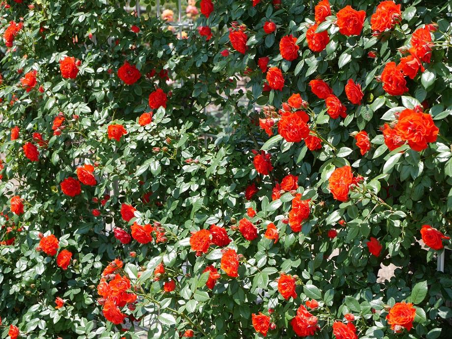 ミニチュアローズの「オレンジ・メイアンディナ」の枝代わりの「つる・オレンジ・メイアンディナ」が画面いっぱいに咲きほこる写真。