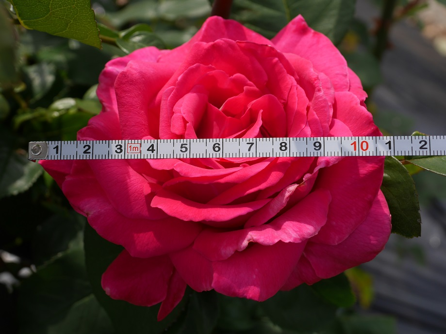 「王妃アントワネット」の花径を測るためにメジャーをあてている写真。計測結果は11cmを示している。