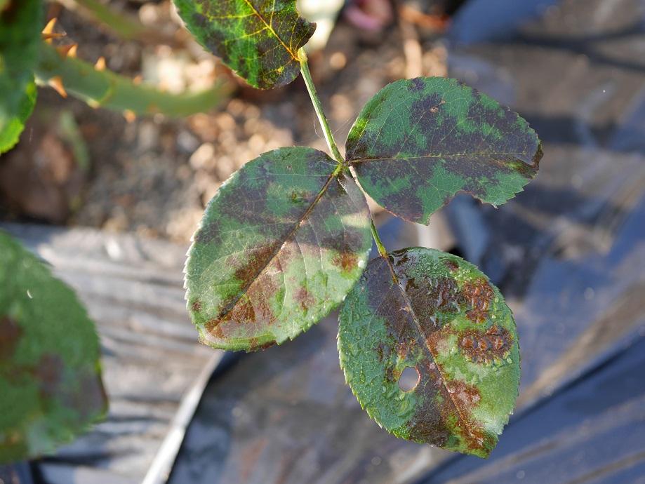 黒星病に感染した「王妃アントワネット」の葉。発病具合がよくわかる。
