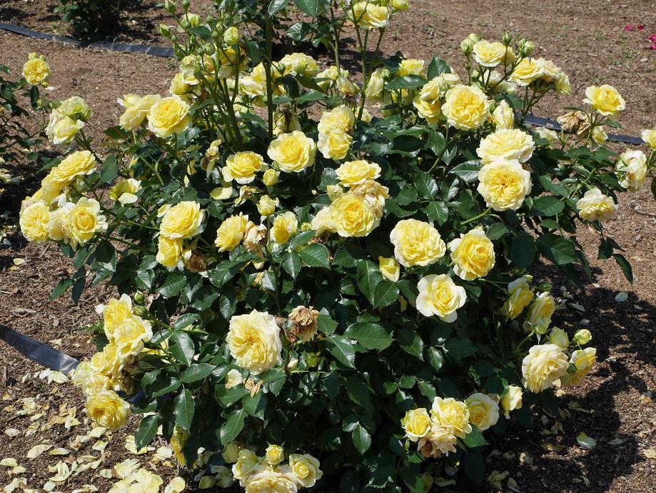 光り輝くような黄色の花色のバラ「サンライト・ロマンティカ」が咲きほこる写真。