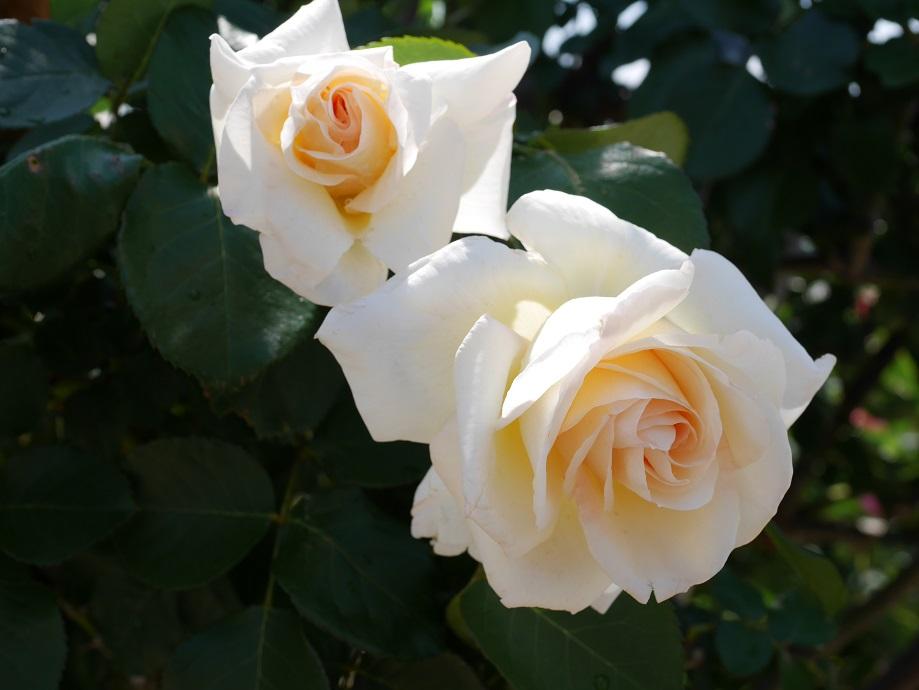 クライミング・ローズ「シュネー・ヴァルツァー」の花姿。