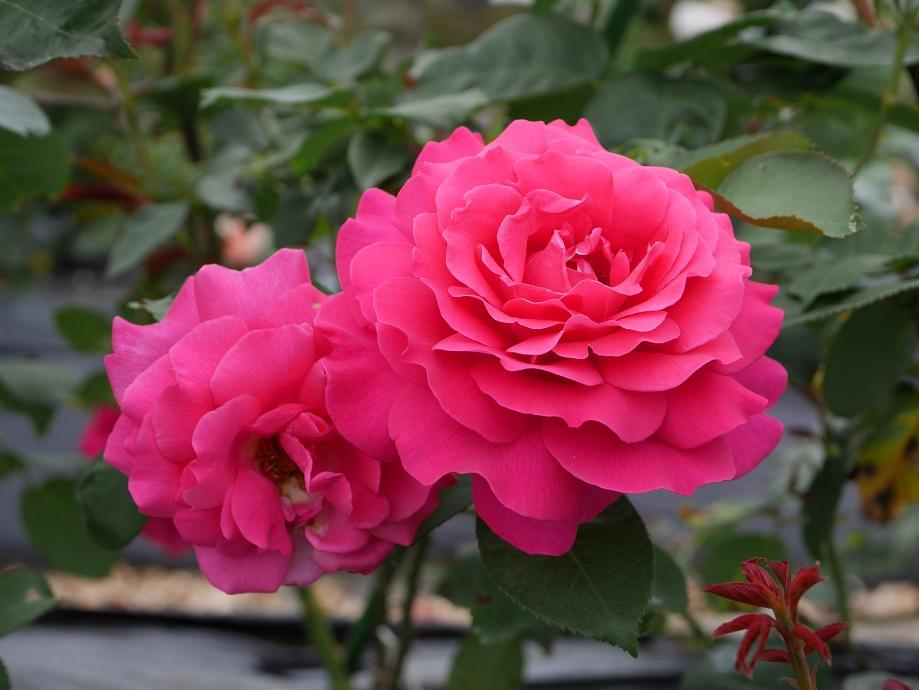2輪咲いている「王妃アントワネット」の8分咲きの花姿。