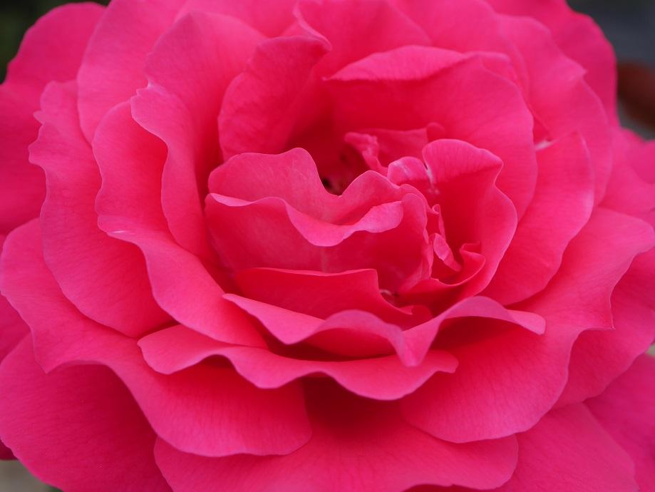 バラ「王妃アントワネット」の花の中心部付近を拡大して撮影した。「波状弁」の花びらの様子がよくわかる。