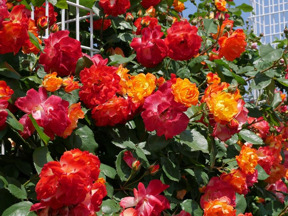 鮮やかな「黄色」にはじまり、それがやや赤みを増して「オレンジ色」になり、さらに赤みを増して「赤色」へと変化する花色が特徴のバラ「ふれ太鼓」の満開の花姿。[撮影者:花田昇崇]