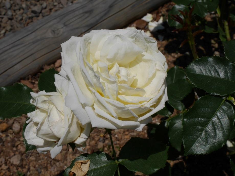 アイボリー色のバラ「マリー・アントワネット」[ドイツ・タンタウ社]の花姿。
