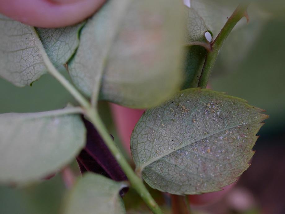 バラ「グレーフィン・ディアナ」の葉裏に寄生した淡い黄緑色の「ナミハダニ」の写真。