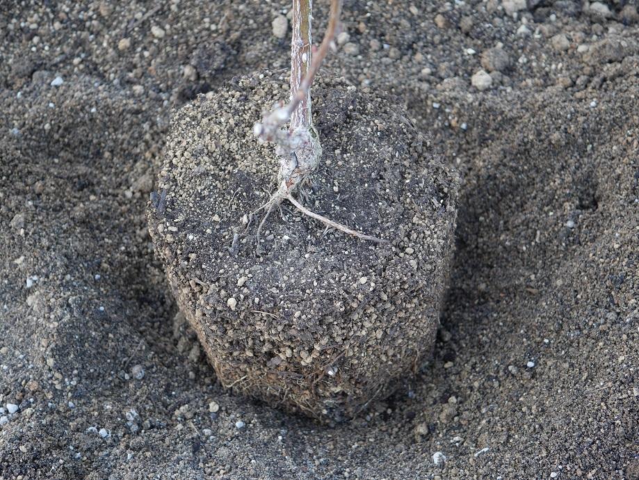 くぼむ程度に土を掘った場所にバラの苗を置いている写真。