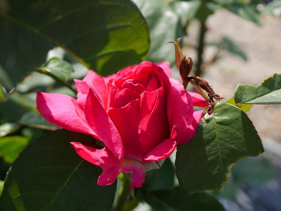 「王妃アントワネット」の5分咲きくらいの花姿。