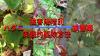 ハダニに侵されたバラの葉の写真を組み合わせてローズフェスタ管理人が自作した本稿のためのアイキャッチ画像