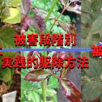 ハダニの駆除方法|肉眼で見えず、殺虫剤も効かない敵を退治する実践的な手順