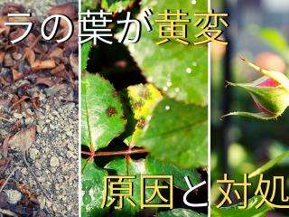 当サイトのコンテンツ「バラの葉を黄変させる代表的な8つの原因と対処法」のために制作したアイキャッチ画像