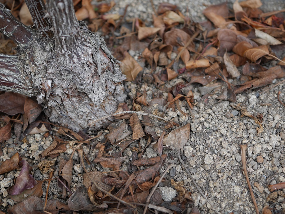 バラの株元に落ちている黒星病に感染して落葉した無数の葉。