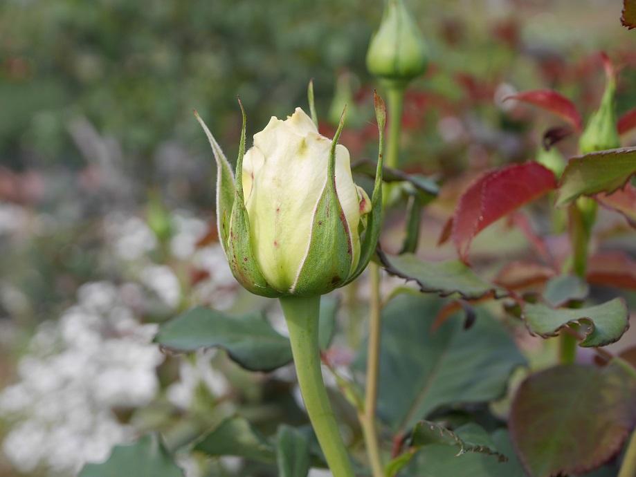 バラ「エリナ」のつぼみ。かなり開いてきた状態の写真。