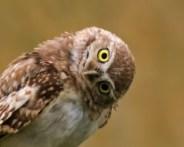 Curious-Burrowing-Owl-crop