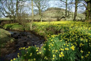 Rosedale's wild daffodils, Northdale Beck
