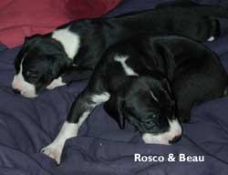 rosco & beau great dane pups