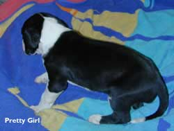 pretty girl dane puppy