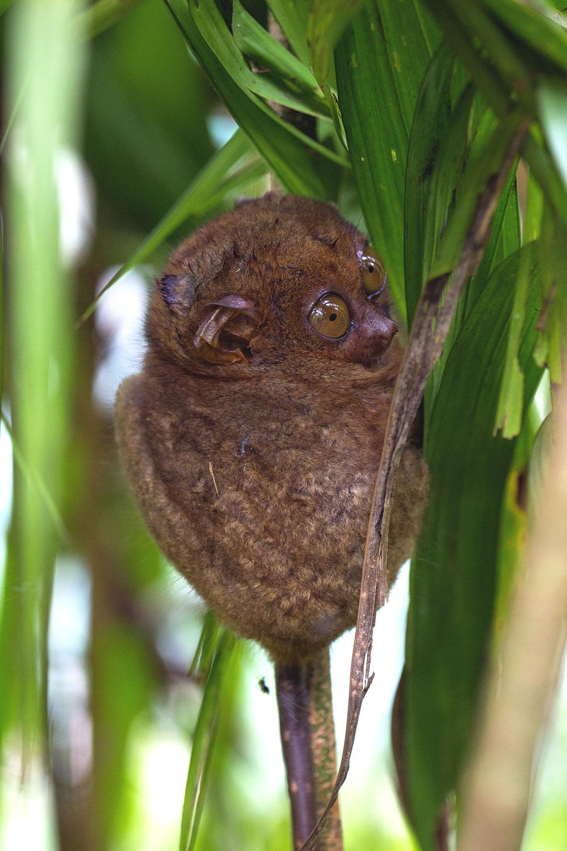 tarsier-cute