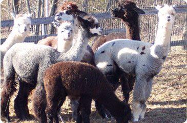 Alpaca Sales