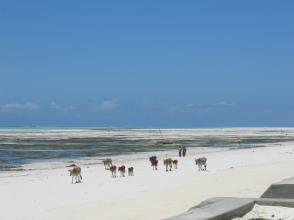 cows on the beach, blue on the horizon