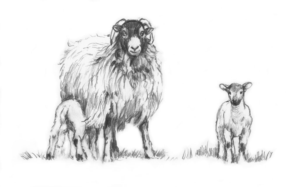 Pictures of Sheep by Diana Rosemary Lodge