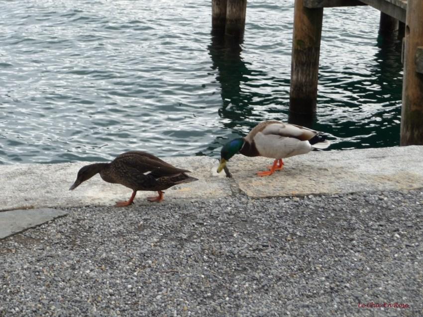Ducks at Weggis