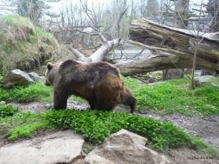Brown bear Alpenzoo Innsbruck