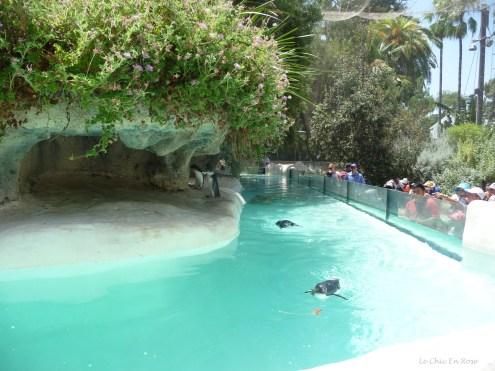 Penguins swimming in their enclosure at Perth Zoo