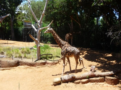 One of the giraffes started to walk towards us